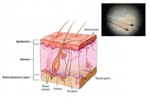 Estructura de las células madre en la alopecia