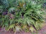 palma enana
