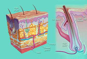 foliculos pilosos glandulas sebaceas